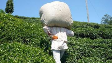 Hasadı kendileri yapacak çay üreticileri gün sayıyor